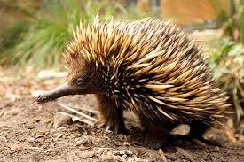 Image result for echidna