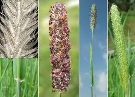 Phleum pratense L. subsp. pratense - Sistema informativo sulla flora ...