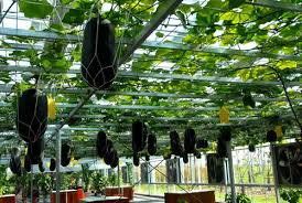 Small Picture hanging melons very cool you could grow your vines over your
