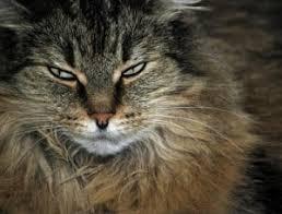 Résultats de recherche d'images pour «chat qui observe»