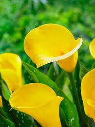 calla zantedeschia sunshine