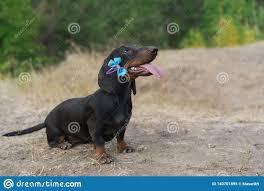 Dog Puppy Breed Dachshund Black Tan ...