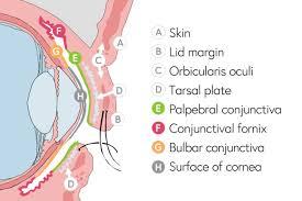 Eyelid Anatomy Anatomy Of The Eyelid Eliminating Trachoma