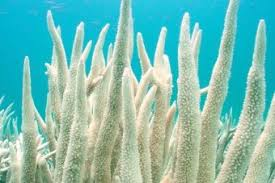 student essay winner calls for action to save the great barrier  image bleached coral in the waters of keppel island northern queensland p marsh gbrmpa link to larger image