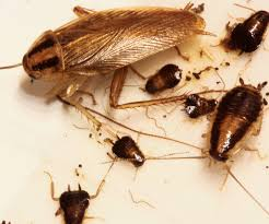 how to get rid of baby roaches cockroach bed bugs pest