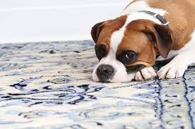 pet stains odor the clean team carpet cleaning denver carpet cleaning services denver