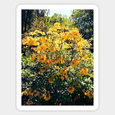 Azalea Size Chart Orange Azalea