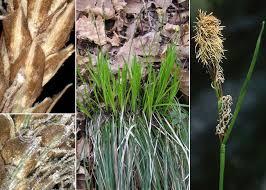 Carex umbrosa Host subsp. umbrosa - Portale sulla flora urbana di ...