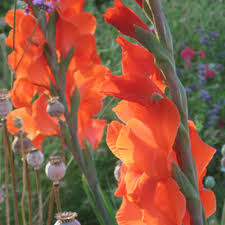How to Grow Gladiolus - Overwintering Gladiolus Corms ...