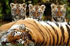 Амурский тигр редкое животное занесенное в Красную книгу России  Амурский тигр редкое животное занесенное в Красную книгу России Ужасающая тенденция по вымиранию кошек в дикой природе обусловлена значительным