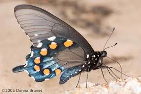 Image result for zebra swallowtail mimics