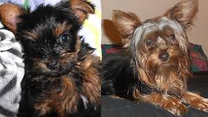 Yorkie Puppy Growing Up