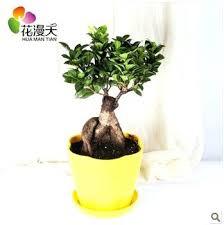 office pot plants. Best Desk Plants The Ginseng Plant Banyan Office Bonsai Flower Pot Purify Air That Wont Die