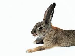 Výsledek obrázku pro zajíc