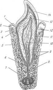 Реферат Гипоплазия эмали зубов ru На рисунке изображена схема строения зуба