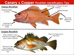 California Rockfish Chart Rockfish Identification Tips Oregon Department Of Fish