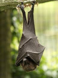 Image result for bats in the winter