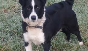 jack russell terrier border collie mix. Brilliant Terrier Benji Is A Border Collie Cross Jack Russell Terrier And He Will Be 7 Mid  April He Great Fun Chap Loves His Ball For Mix