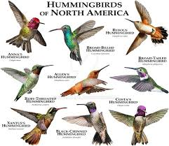 Hummingbirds Of North America By Rogerdhall On Deviantart