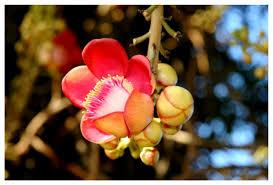 「pinterest Shorea robusta」の画像検索結果