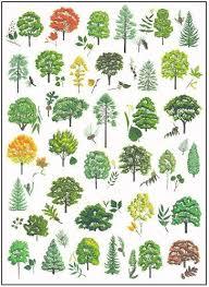 Tree Identification Chart Tree Identification Cornell Edu Pdf A Detailed Guide But
