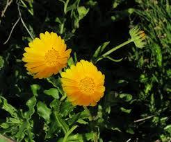 Calendula suffruticosa subsp. fulgida (Woody Marigold ...