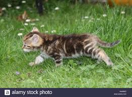 garden animals. Great Garden Animals Has Cat Young Run Side View Meadow Mammals Pets Small Cats