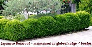 Boxwood Japanese Size 2