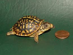box turtle size ornate box turtles small for sale from the turtle source