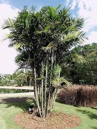 Muda de Palmáceas - Mudas Frutabella