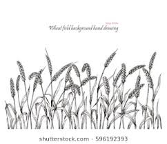 wheat drawing. Plain Drawing Throughout Wheat Drawing R