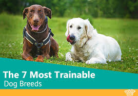 the 7 most trainable dog breeds you and your family will love