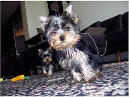 abilene tx adorable teacup yorkie puppies ready for xm