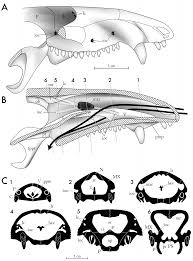 Article structure of the nasal region of non mammalian cynodonts and mammaliaforms speculations on the evolution of mammalian e