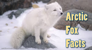 arctic fox facts information for kids