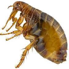 top 3 best flea shoo human hair