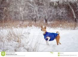 Basenji Dog Walking In Winter Forest ...