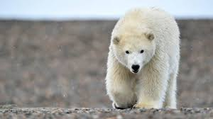 How Much Does A Polar Bear Weigh Polar Bear Weight