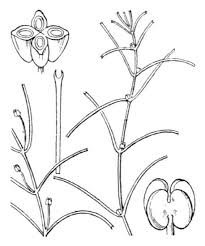 Callitriche truncata Guss. subsp. truncata - Guida alla flora degli ...