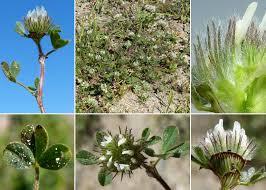 Trifolium cherleri L. - Guida alla flora degli stagni temporanei della ...