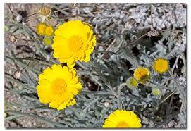 desert marigold  desert marigold