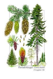 Douglas Fir Growth Chart Scientific Illustration Rubus Ursinus Common Name