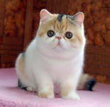 exotic shorthair persian kittens for in singapore