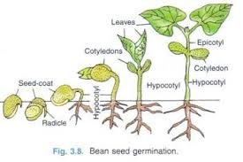 Germination Of Seed Types Condition Required And Other Details