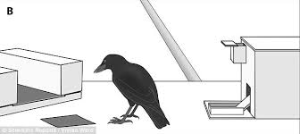 Crow Vending Machine Plans Beauteous Crows Can Make Tools From Memory And Will Improve On Own Designs