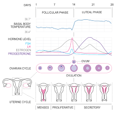 Physiology Of The Female Reproductive System Boundless