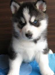brown and black husky puppies. Contemporary Puppies My New Pup Snowy Heu0027s A Husky Inside Brown And Black Husky Puppies Pinterest