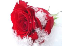 cute roses wallpapers