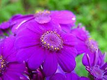 positive and negative traits of purple violet
