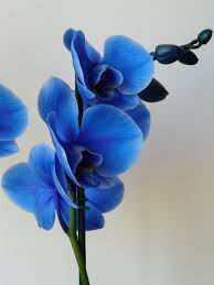 blue orchid wallpaper phone best iphone wallpaper